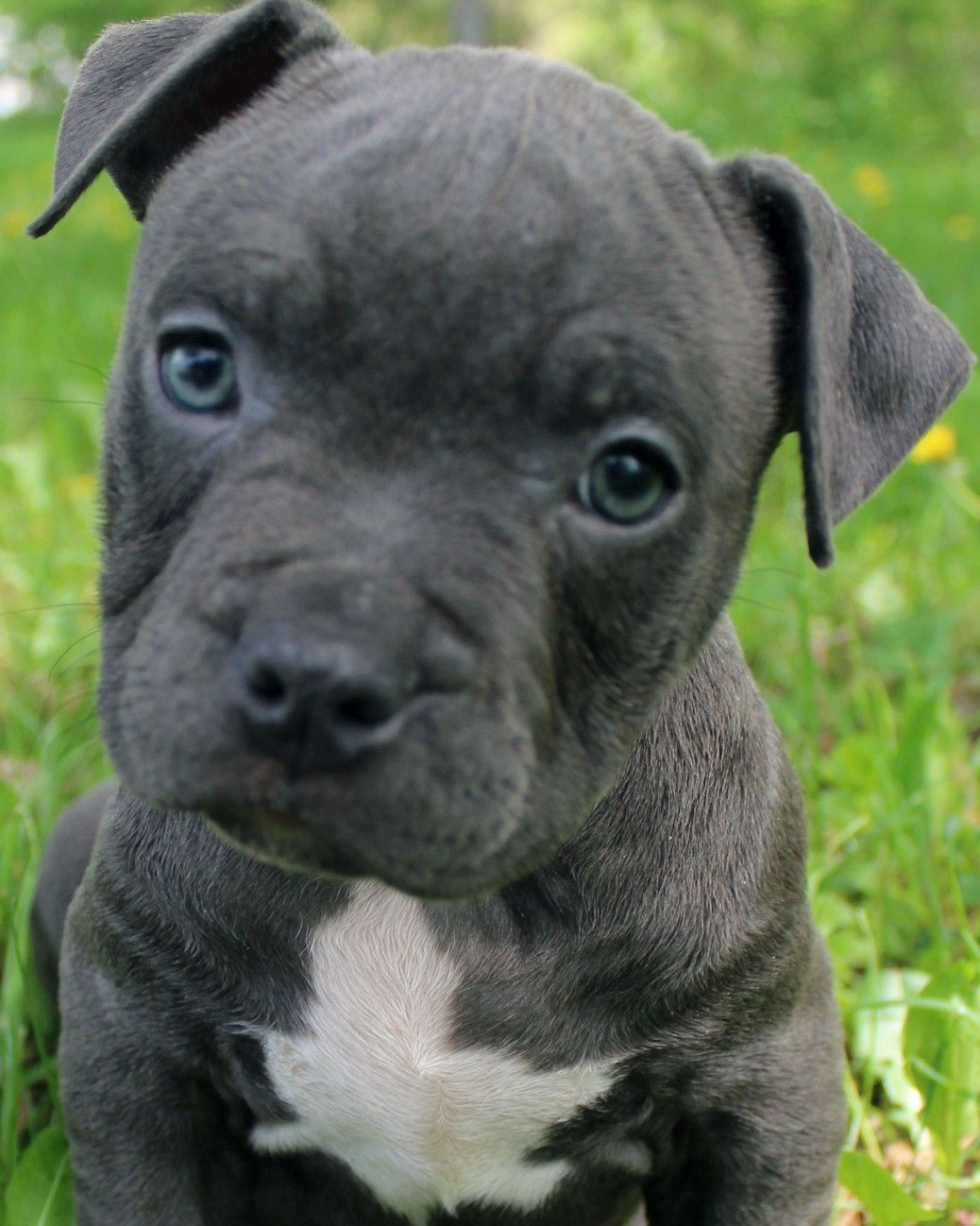 Pin On Bluefirepits Blue Pitbull Puppies For Sale Blue Nose