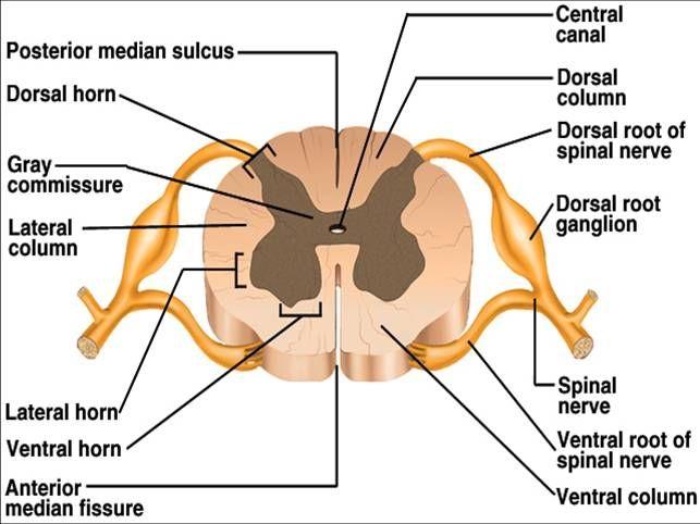 central+nervous+system+labeled+models | The Central Nervous System