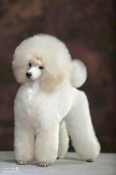 Toy Poodle Esto Es Glamour Canino En Su Maxima Expresion
