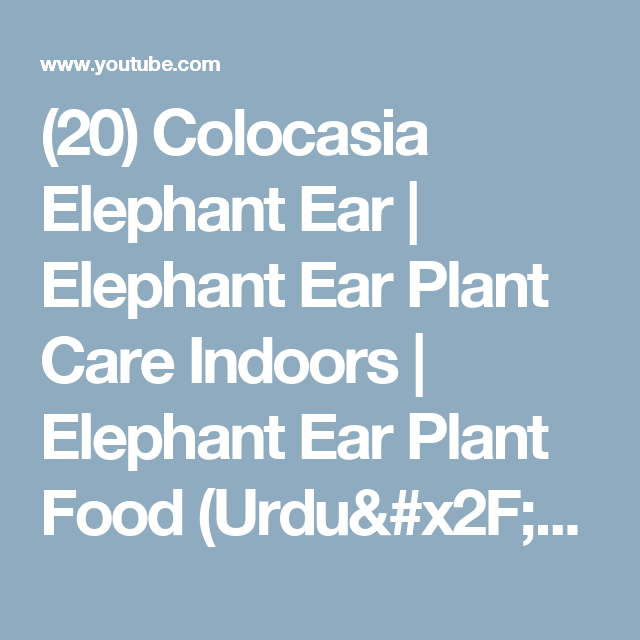 (20) Colocasia Elephant Ear | Elephant Ear Plant Care Indoors | Elephant Ear Plant Food (Urdu/hindi) - YouTube
