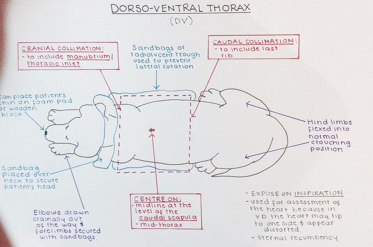 Thorax xray positioning vet medicine vet tech student