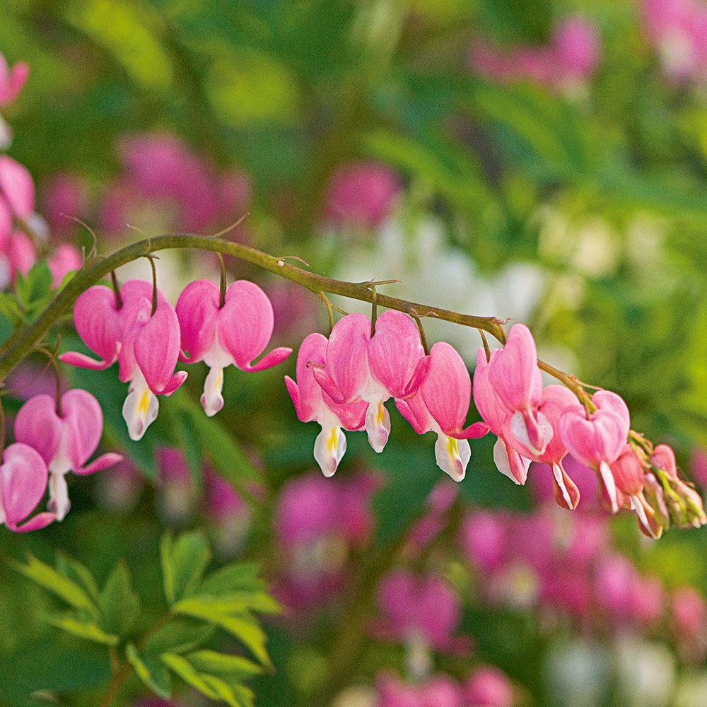 Dicentra Spectabilis White Flower Farm Shade Plants Bleeding Heart Flower