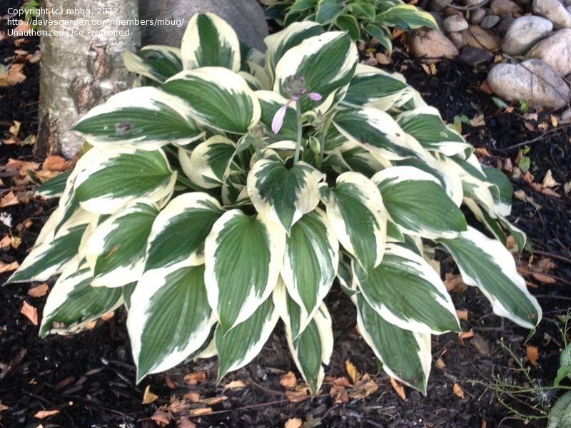 Hosta Patriot Hosta Perennial Border Plants Perennials
