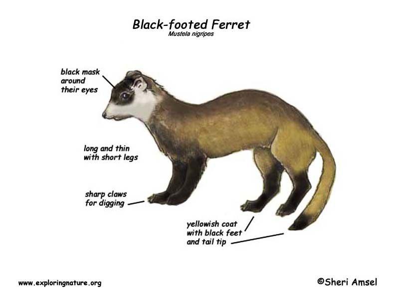 Ferret Black Footed Black Footed Ferret Ferret Black Foot