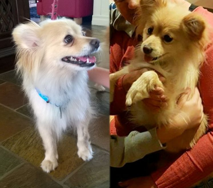 Lulu Our New Adopted Pomeranian X Cant Work Out What Shes Crossed With Suggestions Http Ift Tt 2nraosn Pomeranian Adoption Animals