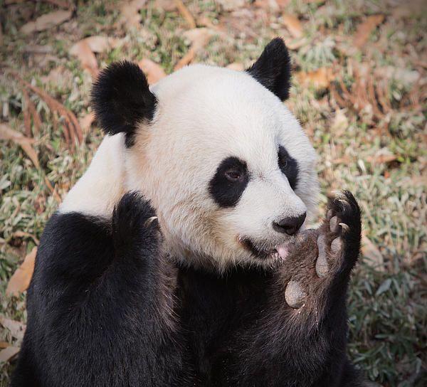 Panda Eating Bamboo Art