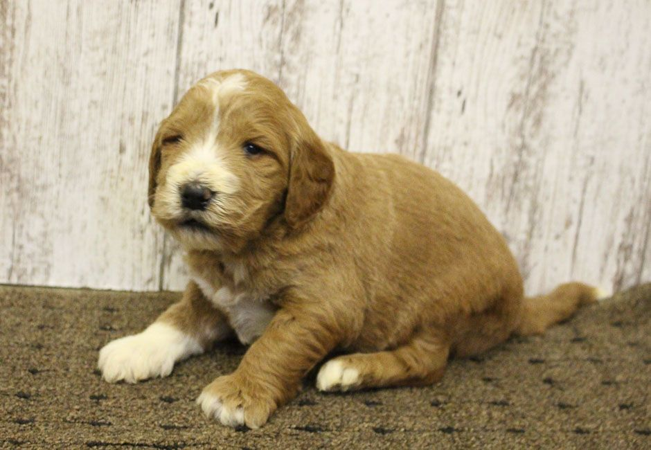 Barny Goldendoodle Pup For Sale At Woodburn Indiana Puppies