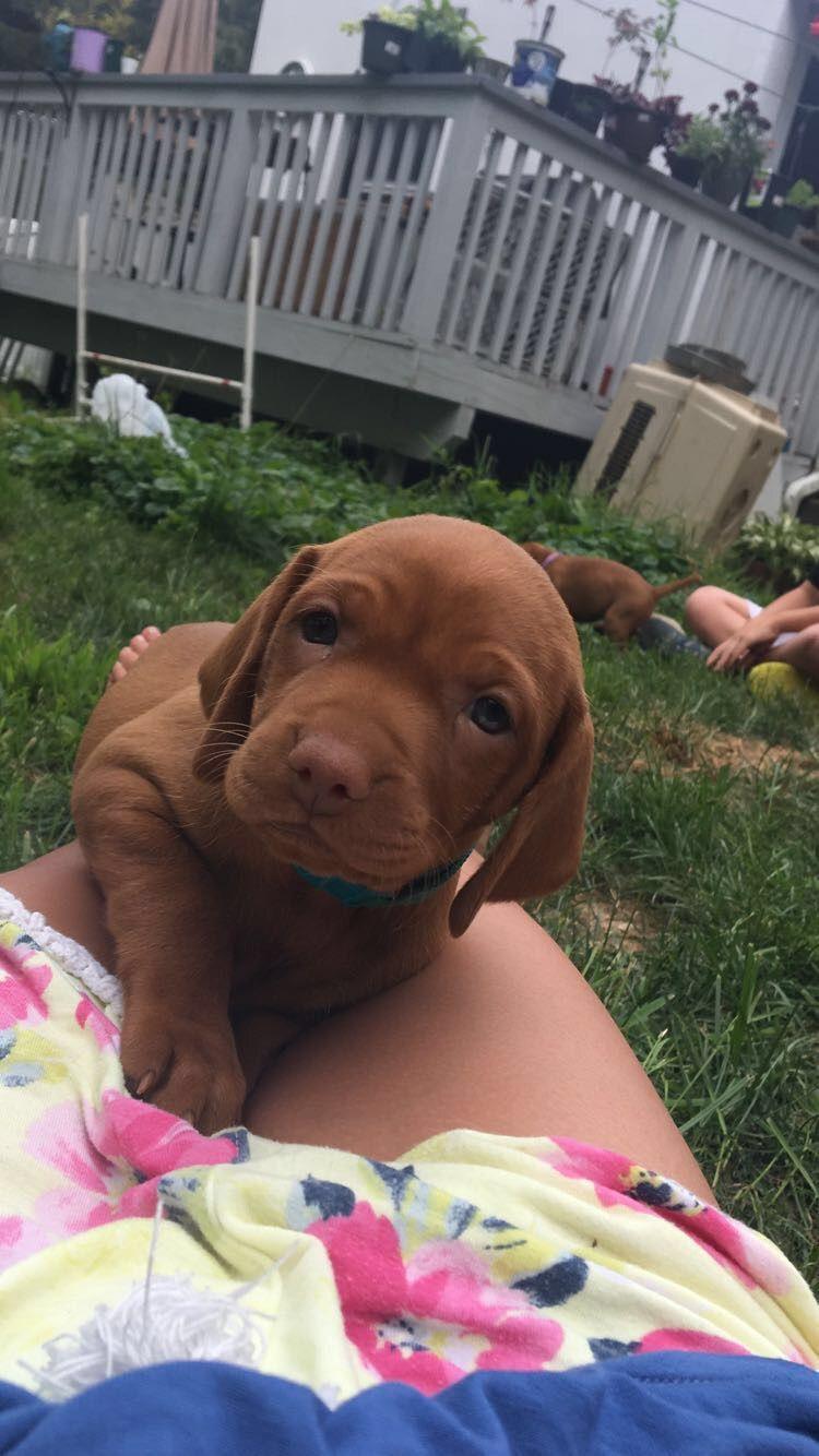 5 week vizsla puppy Cute puppy pictures, Vizsla puppies