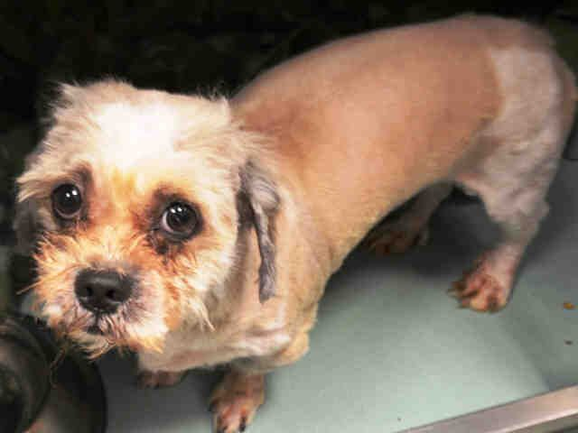 Safe Rescue Dogs Rock Nyc Flan A1064962 Male Tan White Shih Tzu Mix 3 Yrs Stray Stray Wait No Hold Reason Stray Dog Rocks Rescue Dogs Shih Tzu
