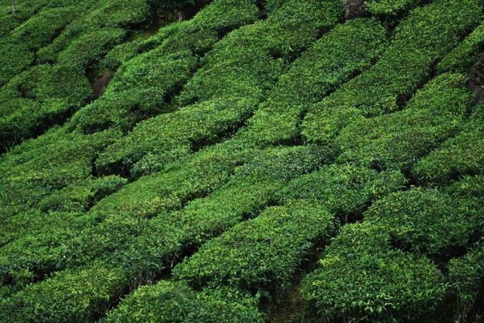 Der Tee Indiens Selbstgemacht Masala Chai Teeplantagen In Munnar Kerala Indien Masala Chai Chai Selbstgemacht