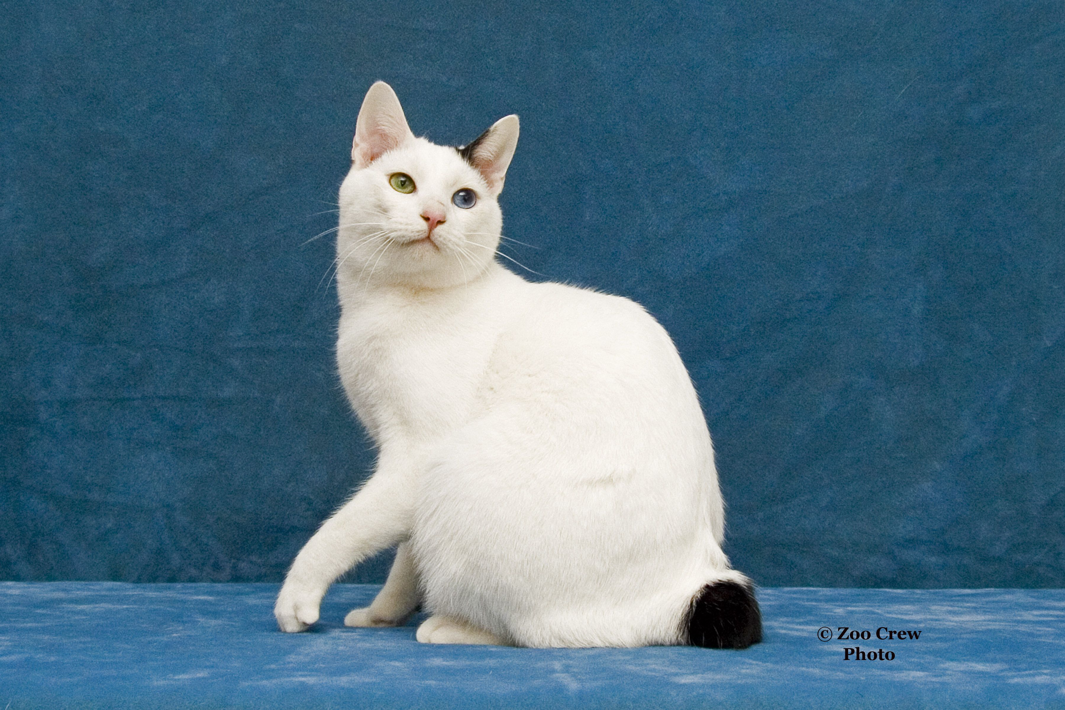 My Japanese Bobtail Musashi. He's retired from the show ...