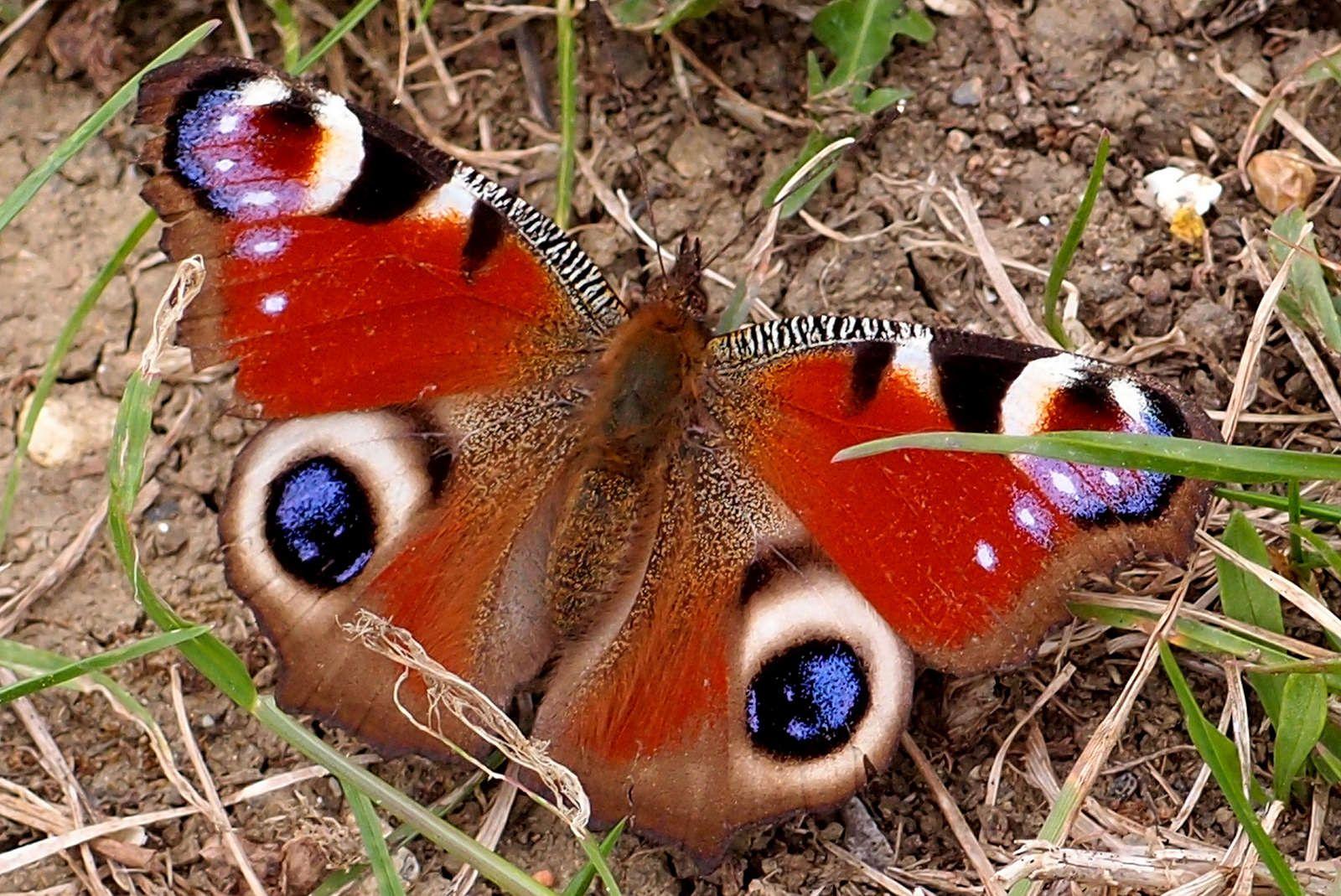 Peacock Butterfly Saffron Walden Essex  May 2015   da Saffron Walden Snapper