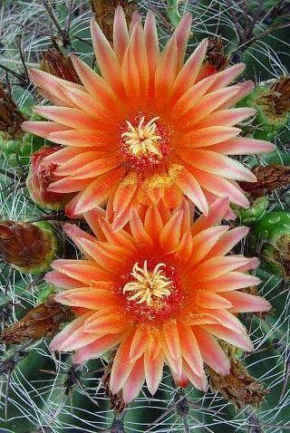 Cactus Flowers Fleur De Cactus Fleurs Lumineuses Cactees