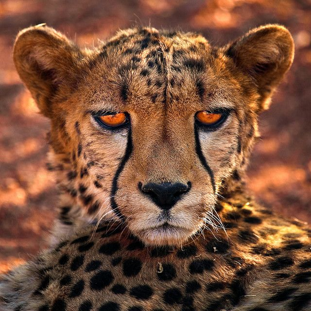 Angry Cheetah by amrodel on DeviantArt
