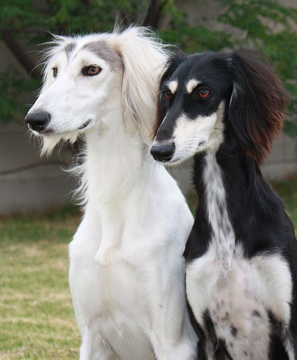 Fleetwind Salukis : Photo | fauna | Dogs, Dog breeds, Dog names