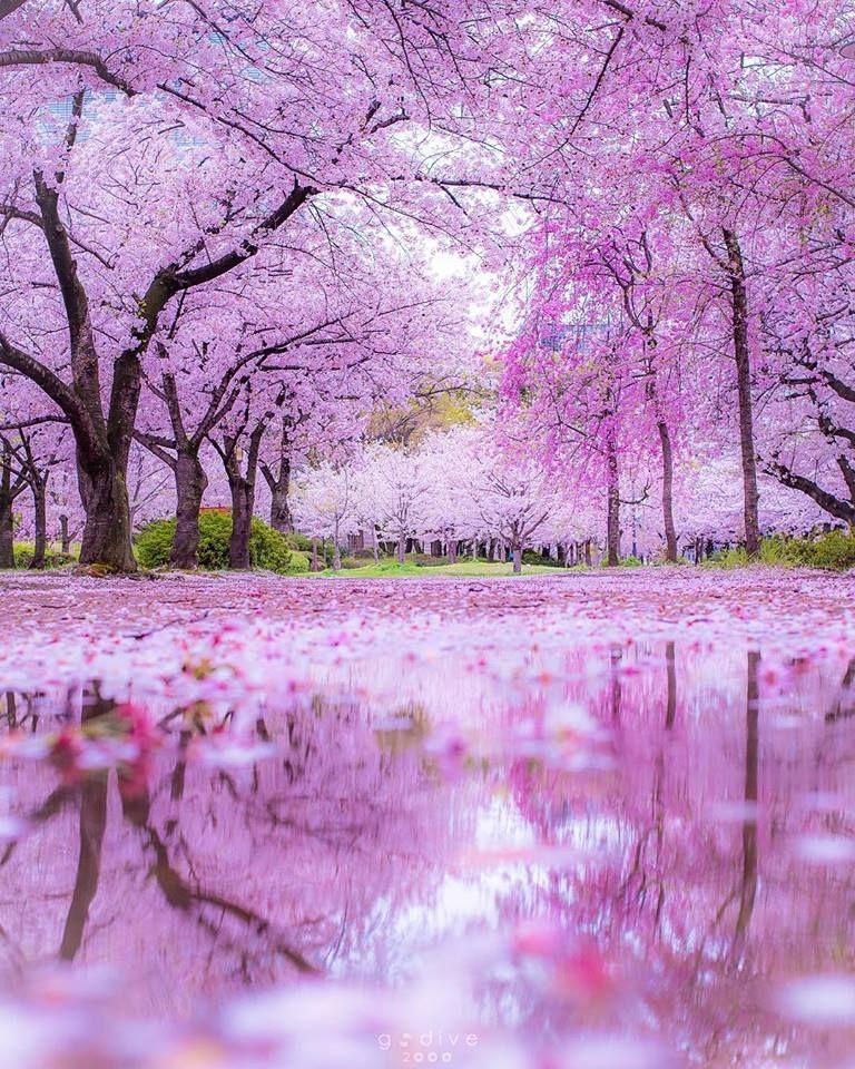 The Beautiful Sakura Trees Of Japan Sakura Tree Nature Cherry Blossom Japan
