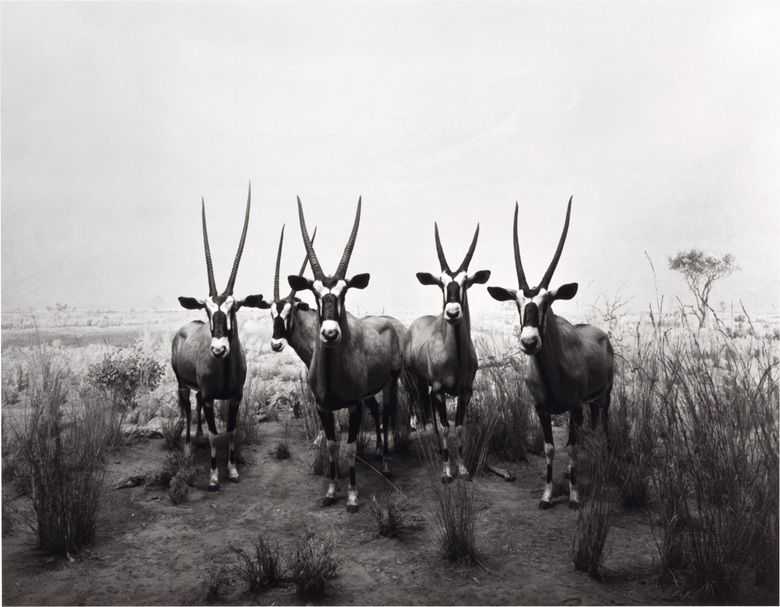 Hiroshi Sugimoto (b. 1948), Gemsbok, 1980. Gelatin silver print, mounted on card. Image 16 58 x 21 ¼ in. (42.3 x 54 cm.) Sheet 18 78 x 22 ¾ in. (48 x 57.8 cm.) Mount 20 x 24 in. (50.9 x 61 cm.) This work is number 12 from an edition of 25. Estimate $12,000-18,000. This work is offered in the Photographs sale on 6 April at Christie's New York