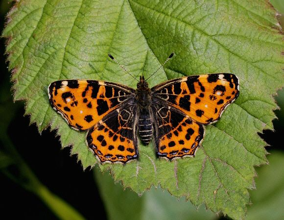 Butterflies of Europe - © Adrian Hoskins ARASCHNIA LEVANA - There are over 440 species of butterfly found in mainland Europe, including 57 which have resident populations in the UK.