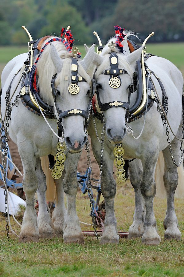 Draft Horses in harness pulling a plow - Images taken at the Weald ...