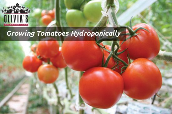 How To Grow Hydroponic Tomatoes Greenhouse Ideas Pinterest