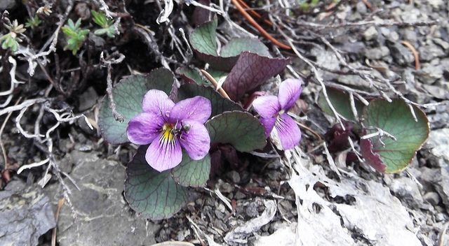 Viola flettii (Olympic Violet) with ant pollinating by brewbooks, via Flickr