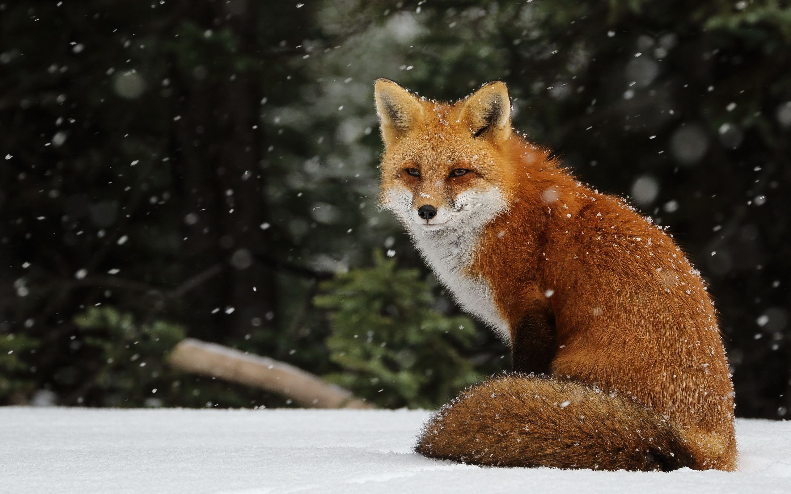 FoxInWInterSnowWallpapersHDimages.jpg (2560×1600