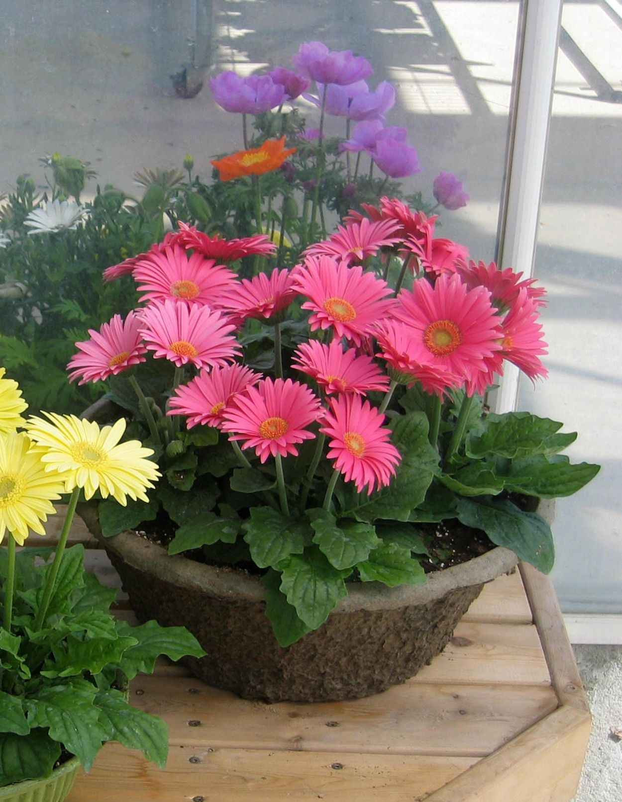 Container Of Gerbera Festival Rose Container Flowers Container Plants Beautiful Flowers