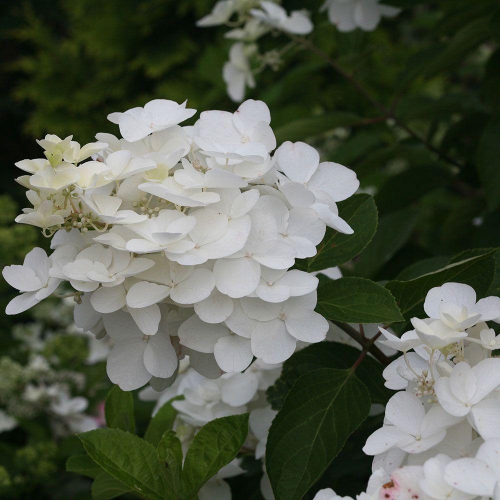 Hard to find hydrangeas white flower farm yard hydrangeas hard to find hydrangeas white flower farm mightylinksfo