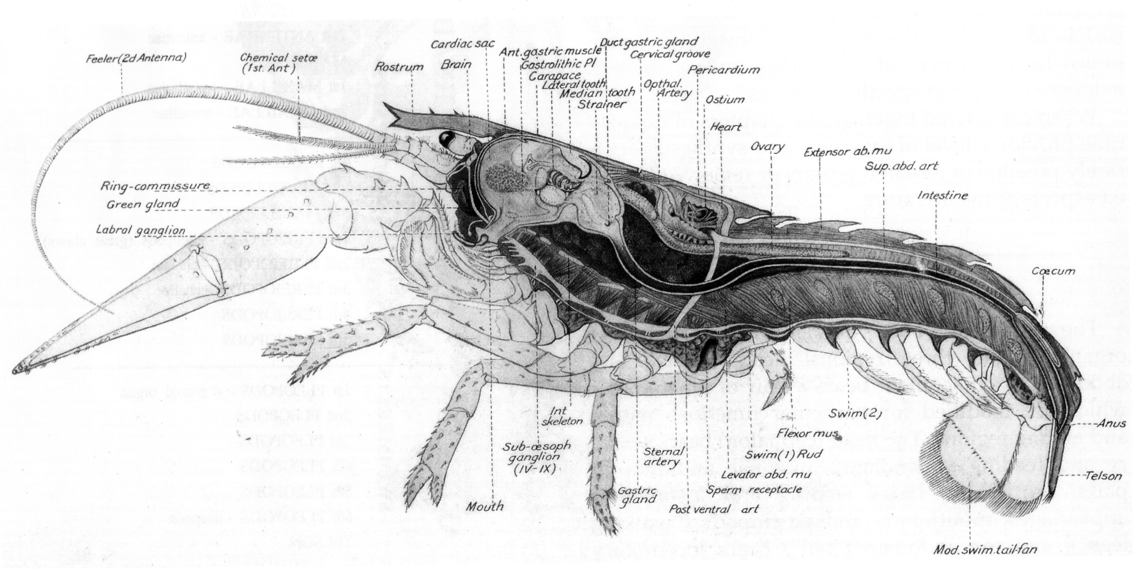 lobster pictures pinterest rh pinterest ie Lobster Brain Anatomy Lobster Digestive System