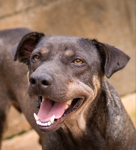 ADOPTION UPDATE Soi Dog Shevy has been adopted and will
