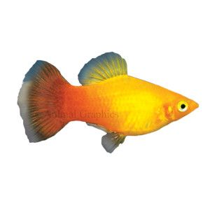 For The 45 Gallon Nice And Bright Diet Flake Frozen Freeze Dried Maximum Size 3 Water Temperature 72 82 F Swimming Level Mid Pet Fish Fish Fish Pet