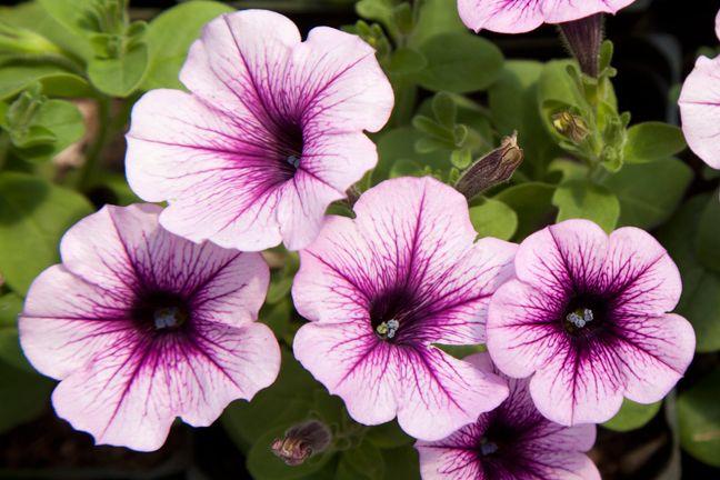 Petunia Potunia Piccola Purple Ice Petunias Pretty Flowers Language Of Flowers