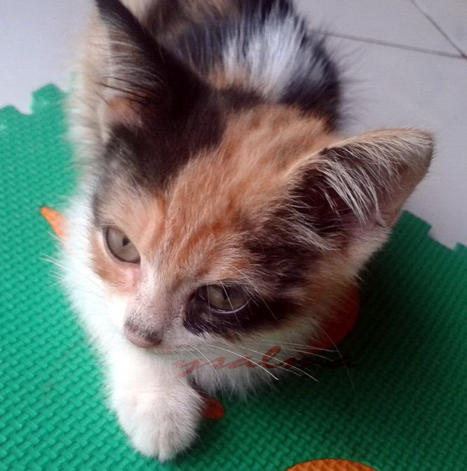 Kucing Belang Tiga Membawa Hoki Kucing Belang Kucing Belang Tiga