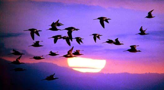 Pin By Sammi Brennan On Pretty Purple Bird Migration Birds Migratory Birds