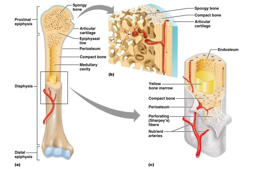 Image result for medullary cavity | ASR Basic Anatomy & Physiology ...