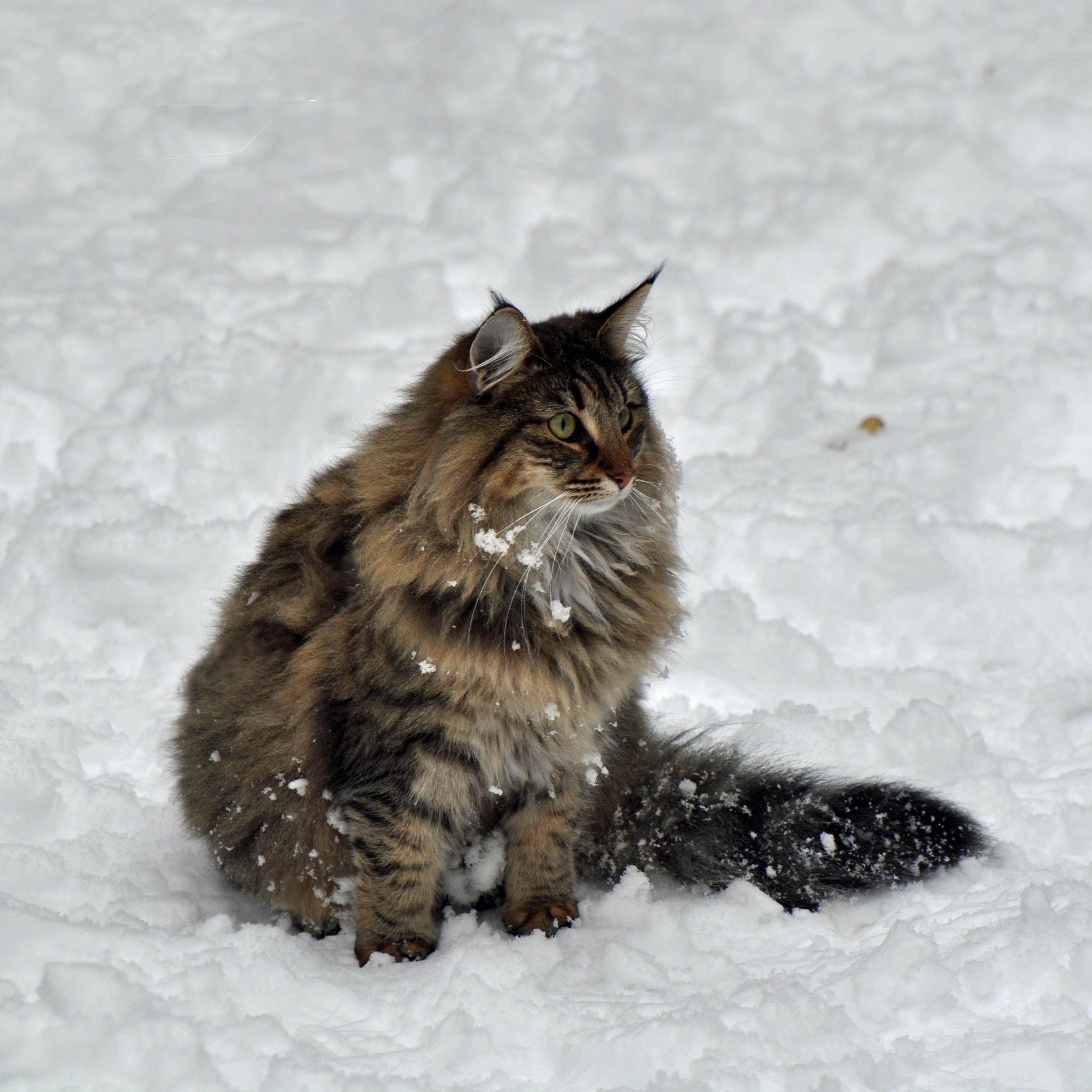 Norwegian Forest Cat  (black tabby mackarel)