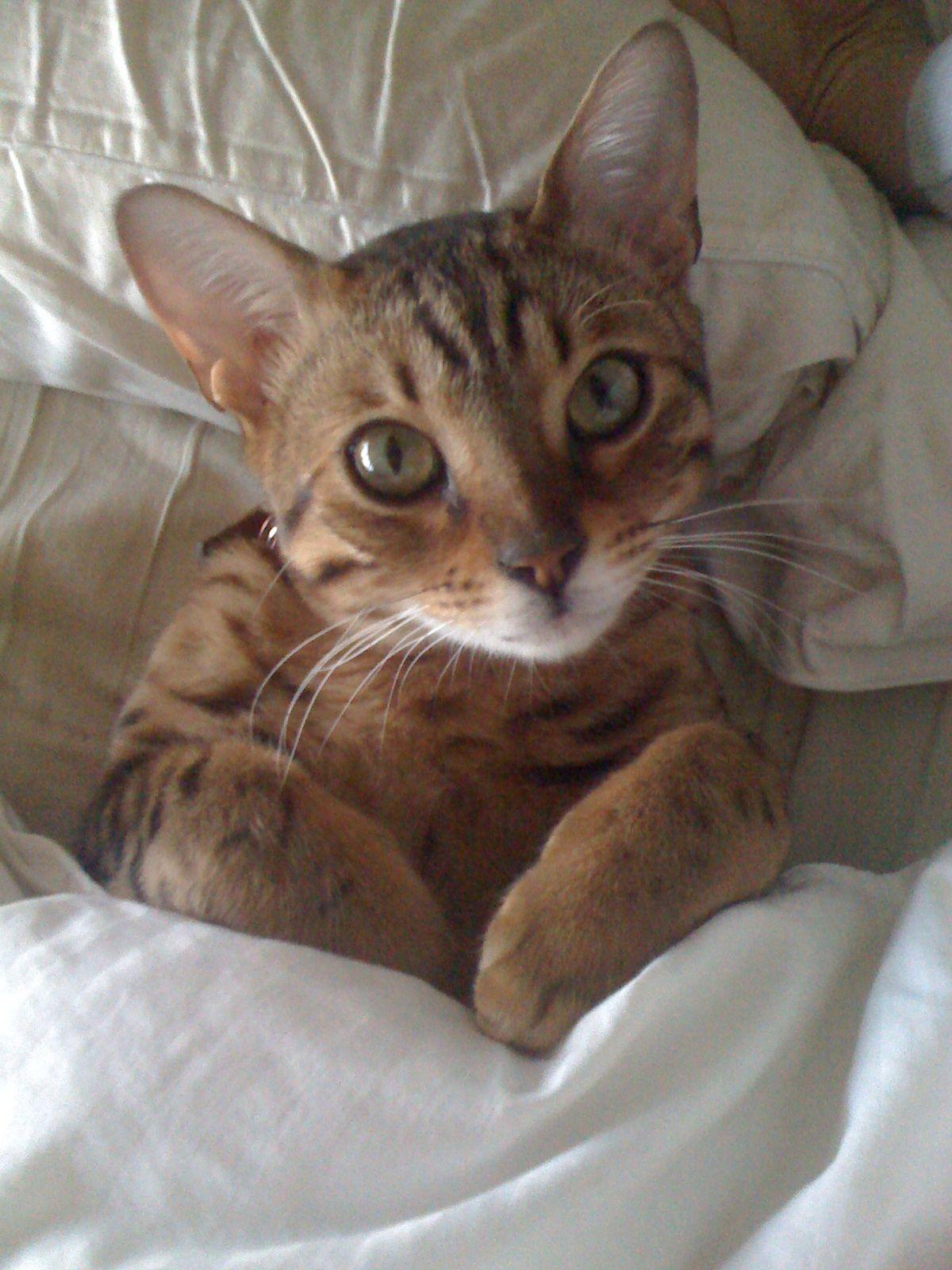 Lucky, the bengal cat. Bengal cat kitten, Bengal cat