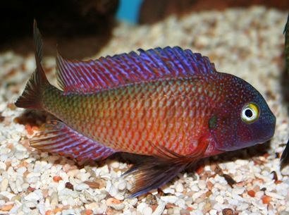 Lake Tanganyika Tropheus Duboisi Maswa Cichlid Fish Pinterest Search Cichlid Fish African Cichlids Cichlids