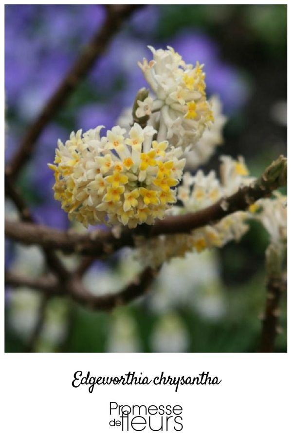 arbuste floraison hivernale parfum e particuli rement remarquable l 39 hiver au jardin. Black Bedroom Furniture Sets. Home Design Ideas