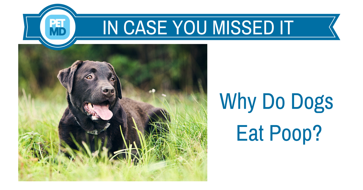 What are the reasons why dogs eat poo? Should this behaviour be encouraged or discouraged?