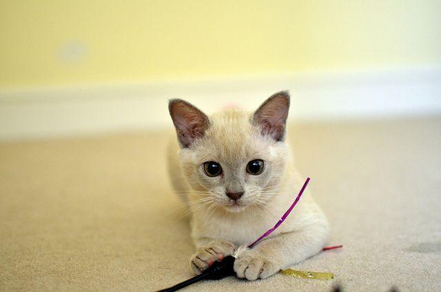 Alvin The Lilac Burmese Kitten Burmese Kittens Kittens Pretty Cats