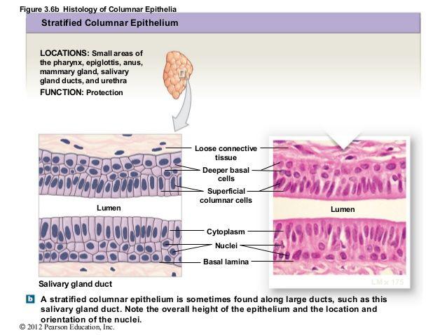 stratified columnar epithelium diagram wiring seymour duncan figure 3 6b histology of epithelia locations small areas the pharynx epigl