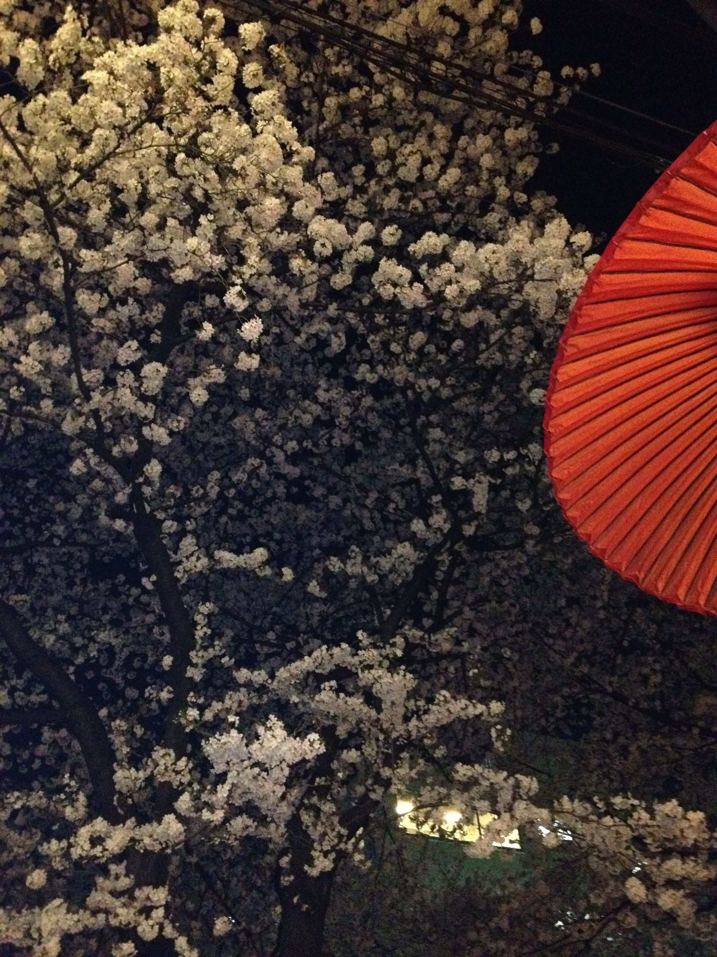 Cherry Blossom, Nakameguro, Tokyo