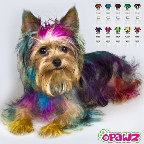 Pink , Purple and blue yorkie dog 💙💜💟 | Dog grooming ...