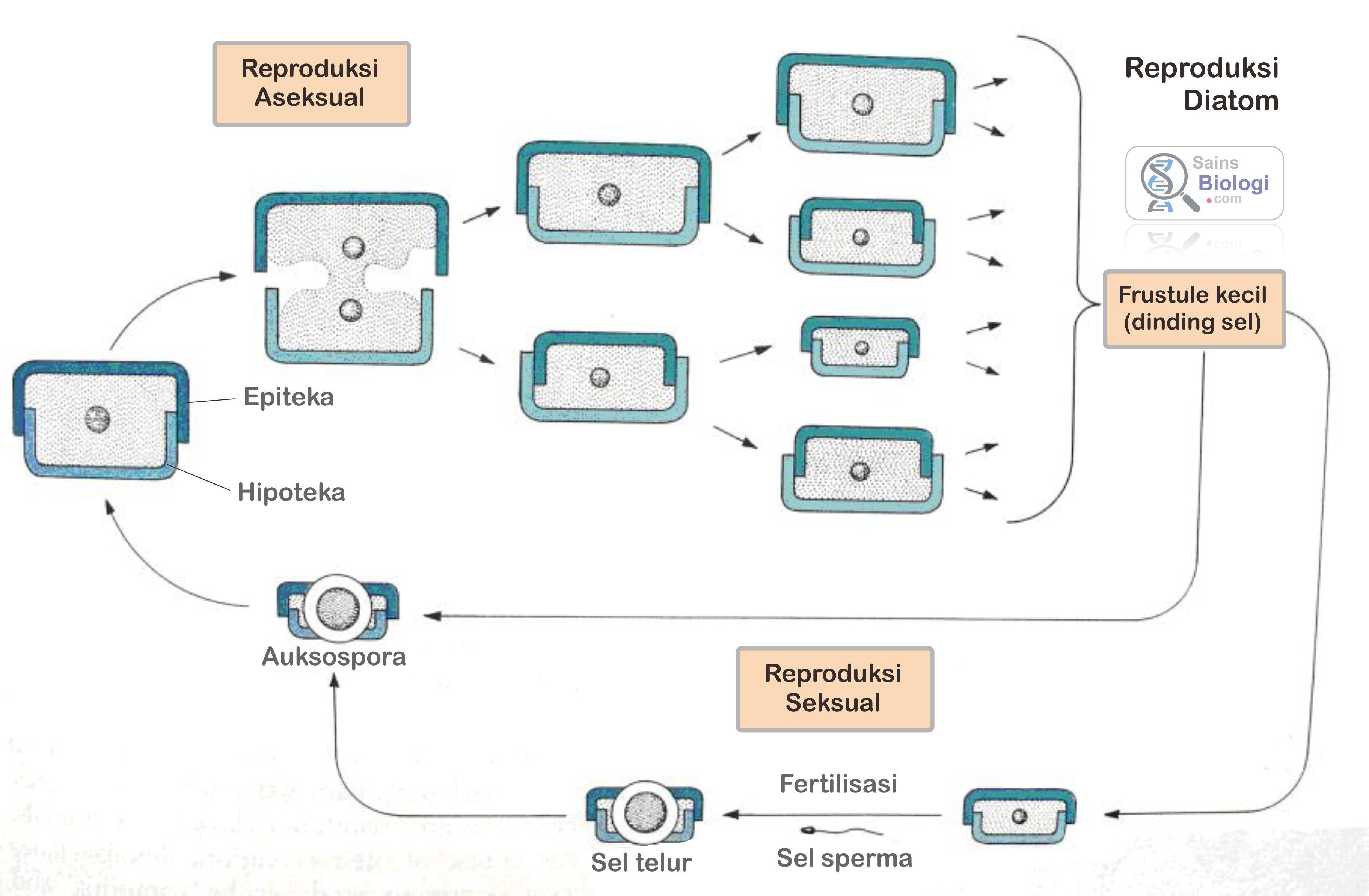 Gambar reproduksi diatom anggota ganggang atau alga biologi sma gambar reproduksi diatom anggota ganggang atau alga ccuart Choice Image