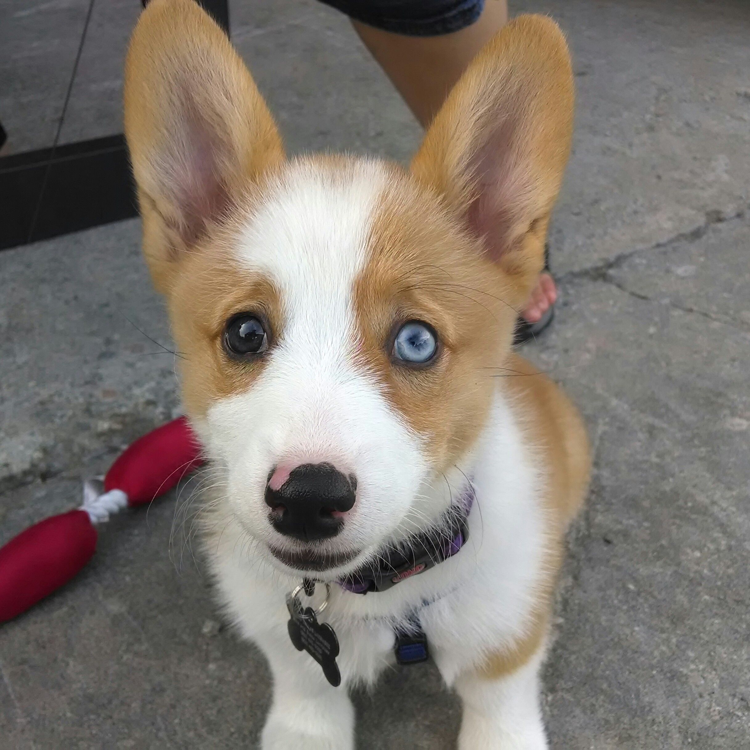 Meet My Bi Colored Eye Corgi Leeloo Dallas Corgi Animals