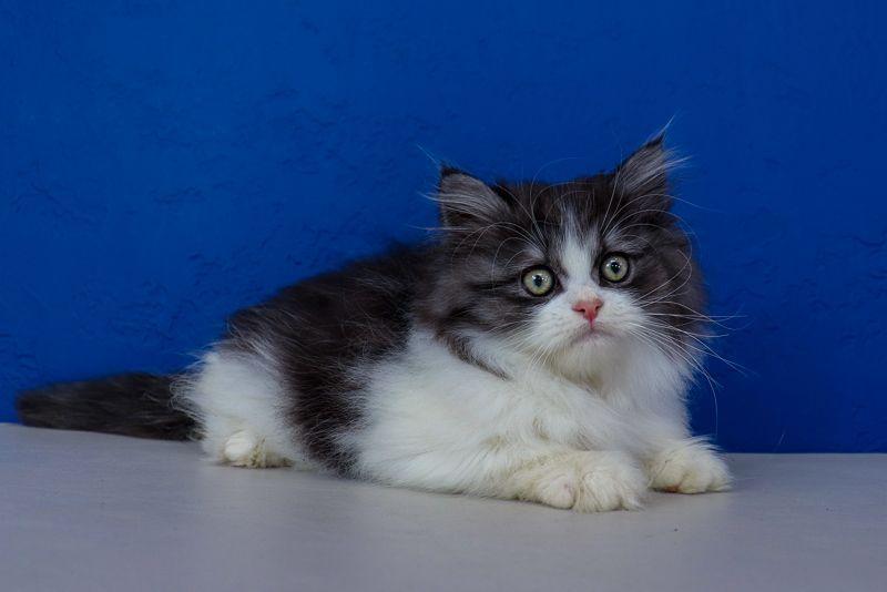 Ragdoll Kittens For Sale Near Me In 2020 Ragdoll Kittens For Sale Ragdoll Cat Ragdoll Kitten