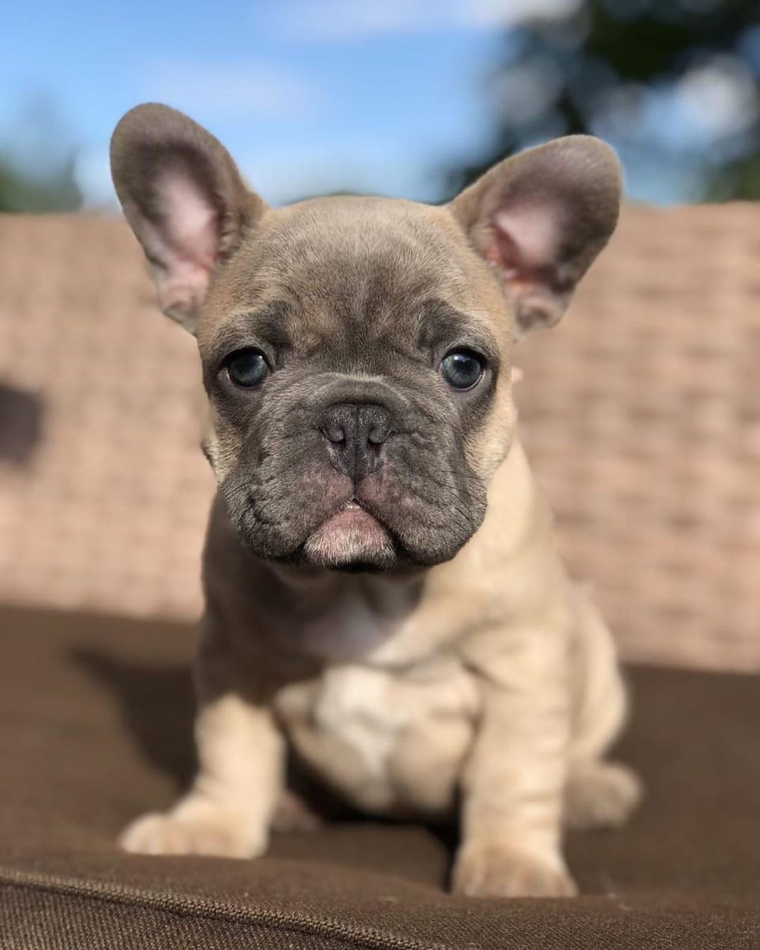 Frenchie Frenchies Frenchbulldog Frenchiesofinstagram
