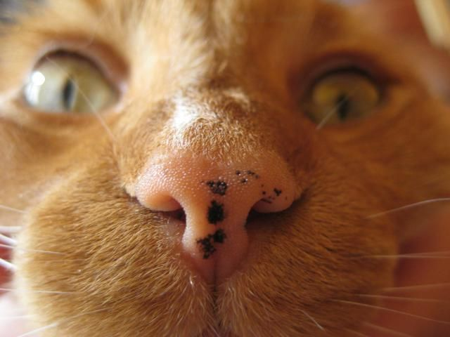 What Are Those Black Spots On My Cat S Face Cat Nose Spotted Cat Orange Tabby