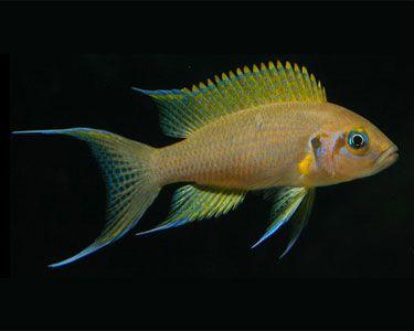 Aquariumdomain Com African Cichlid Aquarium Freshwater Aquarium